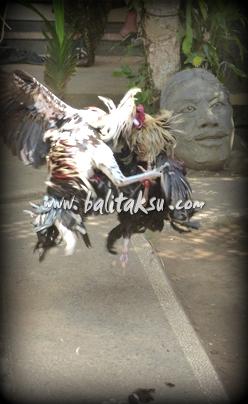 バリ島の闘鶏の様子