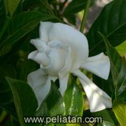 Sekar Jempiring ジュンピリンの花